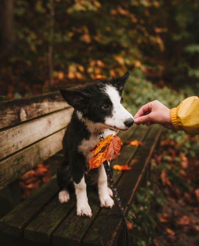dog holding a fall leaf