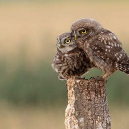 Parent and baby owl sitting on a stump