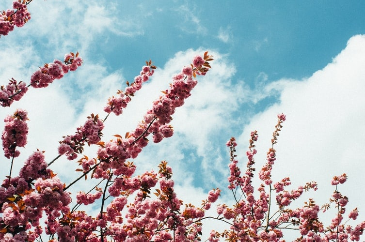 Pink tree flowers.